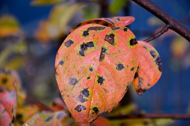 鉢植えの柿の葉~