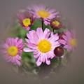 Photos: 庭の菊~