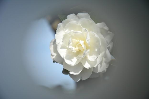 庭の山茶花~