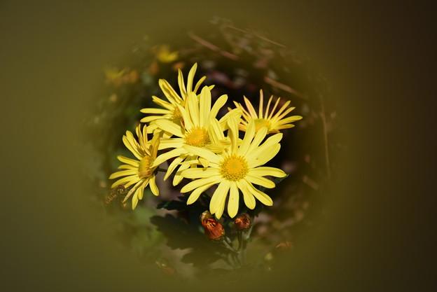 庭の菊です~