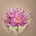 Photos: 食用菊です~