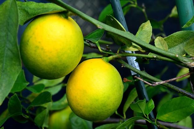 我が家のレモンです~