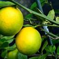 Photos: 我が家のレモンです~