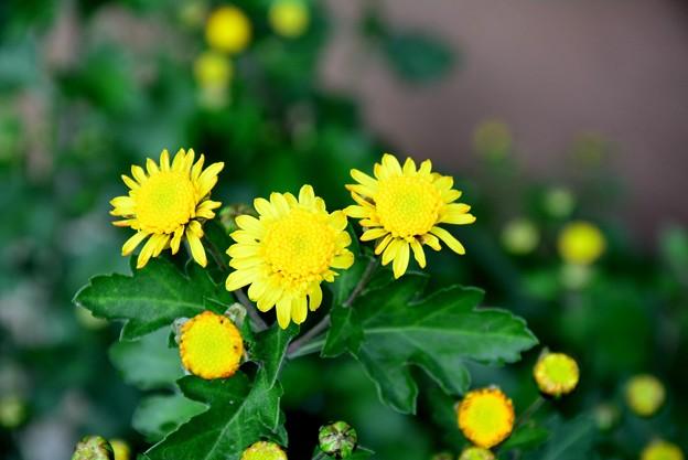 寒さに強い菊です~
