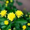 Photos: 寒さに強い菊です~