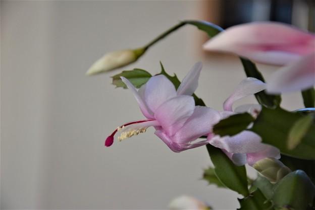 Photos: 12月から咲いてます~