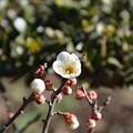 盆栽の梅咲きました~