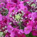 Photos: 輪になって咲く花~