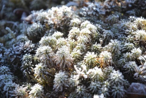 庭苔の霜~