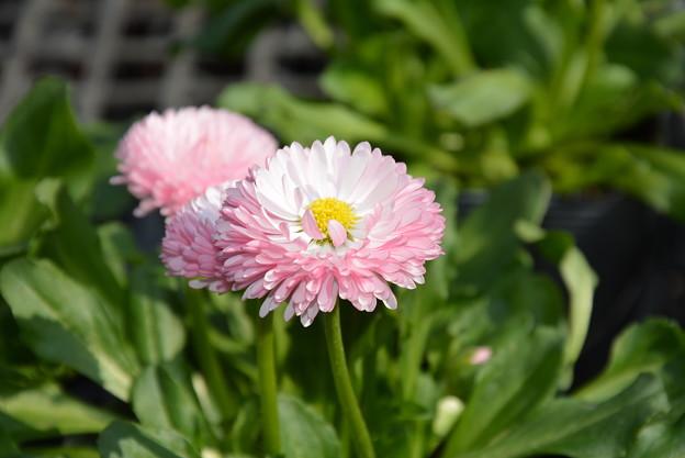 園芸店の花です~