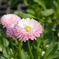 Photos: 園芸店の花です~