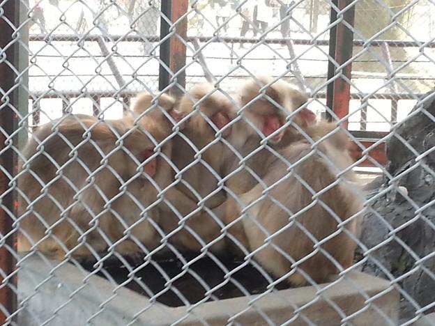 お猿さんのおしくらまんじゅう