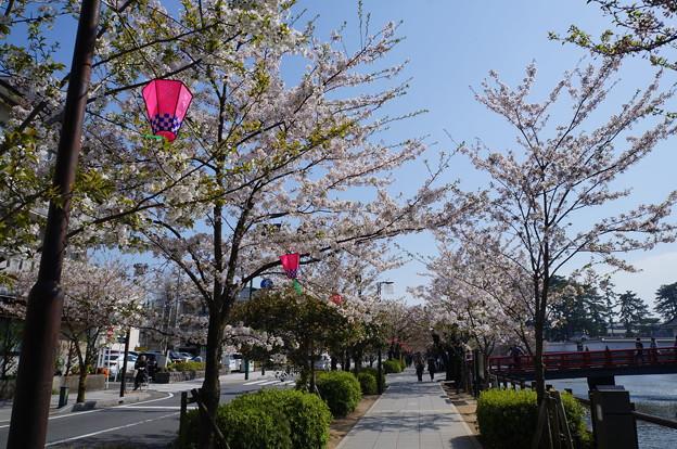 小田原城 お堀通り 桜