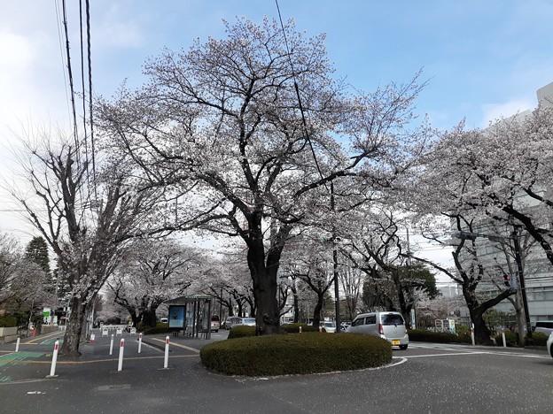 相模原 桜