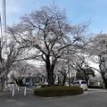 Photos: 相模原 桜