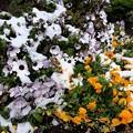 Photos: 花と雪