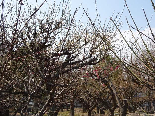 2018.2.26 梅の木公園
