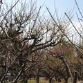 写真: 2018.2.26 梅の木公園