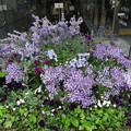 写真: 2018.4.12 大阪駅南口も紫色に染まっています