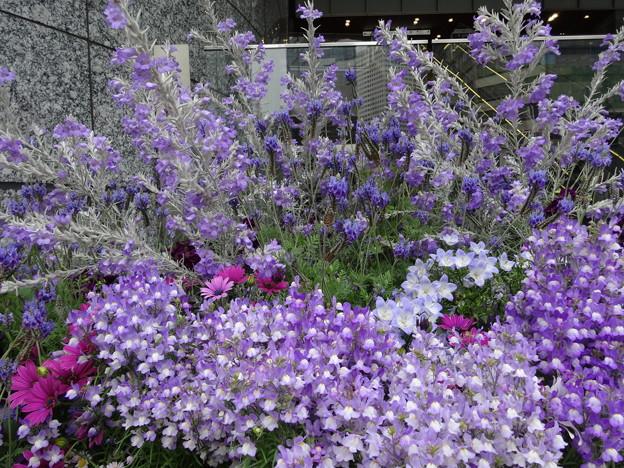 2018.4.12 大阪駅南口も紫色に染まっています
