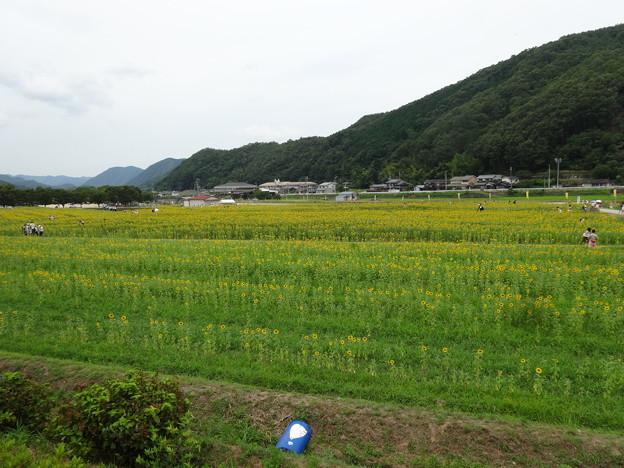 2018.7.28 南光ひまわり畑