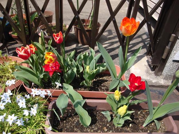 2019.4.6 チューリップが咲きました