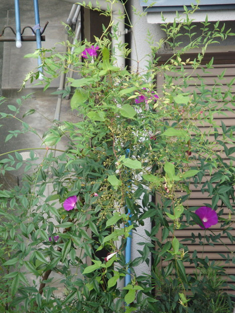 2019.9.8 アサガオがナンテンにからまって咲いています