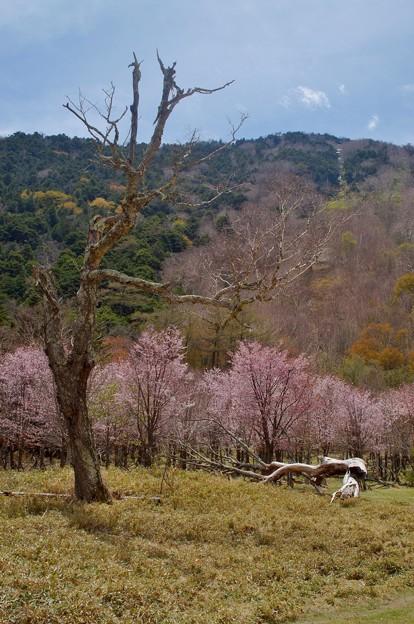 奥日光の桜