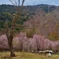 写真: 奥日光の桜