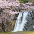 Photos: 滝さくら