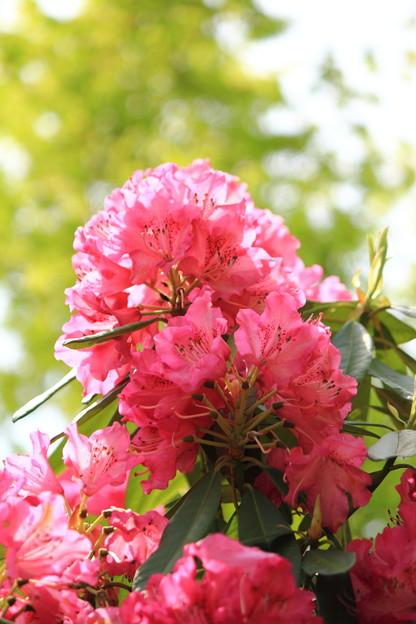 倶利伽羅不動尊 鳳凰殿の石楠花