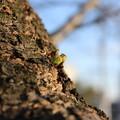 芽吹き(桜)