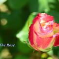 Photos: The Rose