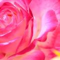 Photos: 薔薇が咲いた