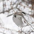 ハシブトガラの飛翔