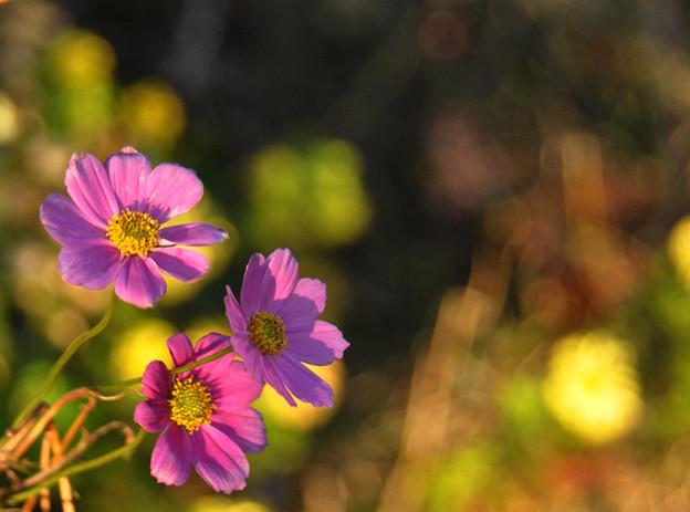 可憐なコスモスの花