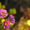 Photos: 可憐なコスモスの花