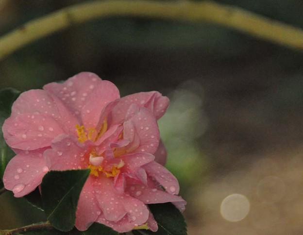サザンカ~ピンク
