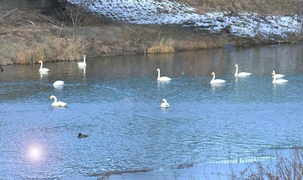 白鳥たちが佇む苫小牧川