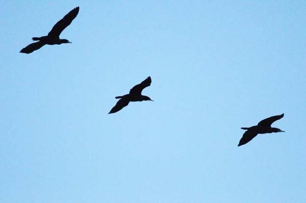 カワウの飛翔シーン