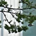 針葉樹にぶら下がるヒガラがいる風景