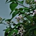Photos: ブラックベリーの花