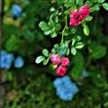 Photos: 赤いミニバラ