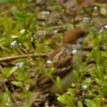 ワスレナグサの中のスズメ