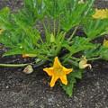 Photos: カボチャの花