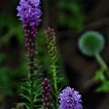 開花中のリアトリス