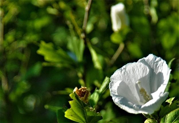Photos: 白いムクゲの花