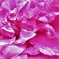 Photos: ハマナスの花のアップ