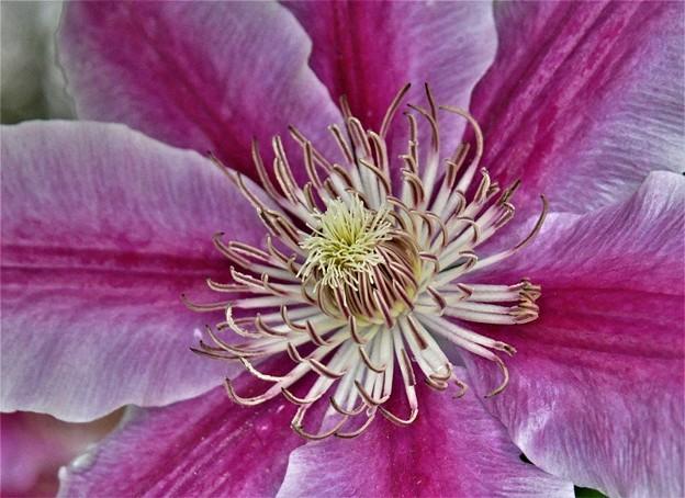 クレマチスの花のアップ