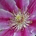 Photos: クレマチスの花のアップ